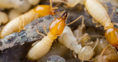 termittes